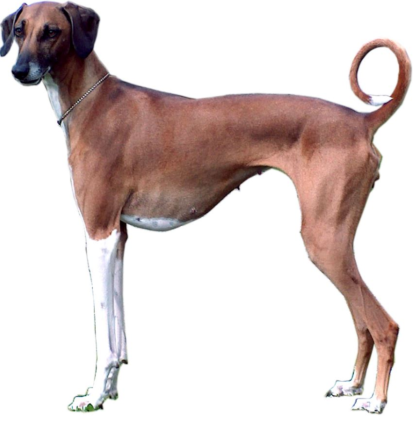 azawakh sighthound
