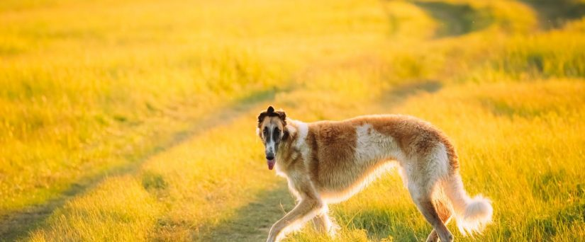 borzoi in summer