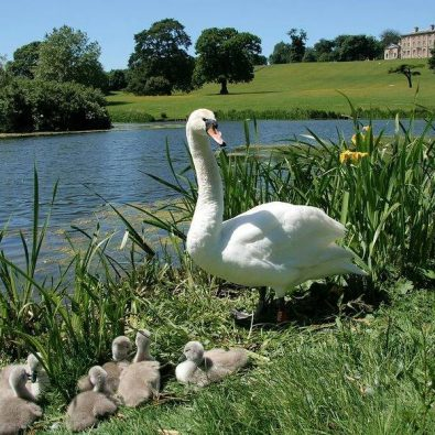 swans at cusworth