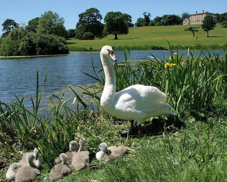 swans at cusworth
